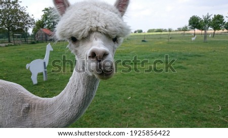 Funny looking woolly alpaca. Picture was shot while the alpaca was eating.
