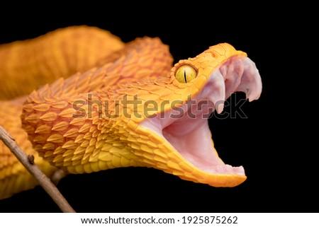 The fangs of a venomous bush viper snake Royalty-Free Stock Photo #1925875262