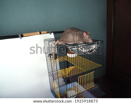 The rat got out of the cage and climbed on it at home inside the room