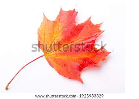 maple leaf isolated on white. red crimson golden autumn colors, the leaf of the maple, used as an emblem of Canada. Royalty-Free Stock Photo #1925983829