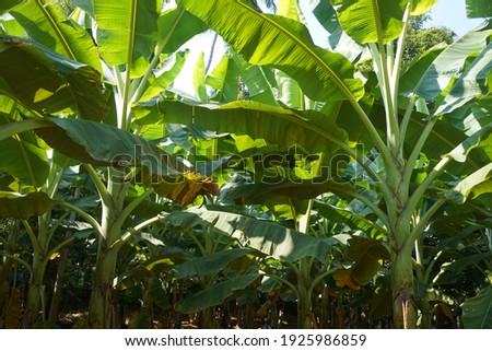 THIS IS A PICTURE OF A BANANA PLANT GARDEN