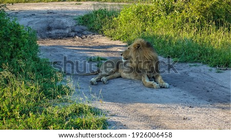 An adult wild lion with a lush mane lies quietly on a dirt road. The head is turned in profile. Tire tracks in the dust. Green grass grows on the roadside. Botswana. Chobe park