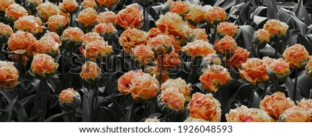 Group of Double Fringed orange-pink tulips in bloom. The green of the leaves has been converted to grey. A crispa tulip