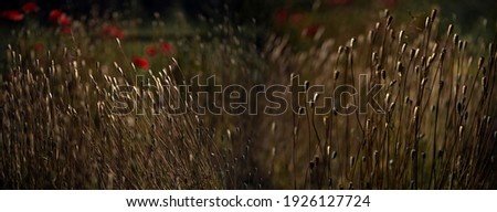 The buds of dry poppy bolls.Background poppy picture.Panorama of poppies.