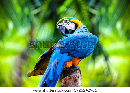 close up portrait of colorful blue and yellow macaw parrot Ara ararauna Royalty-Free Stock Photo #1926242981