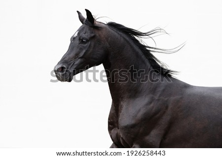 Head of a beautiful black arabian horse with long mane on white background, portrait in motion closeup. Royalty-Free Stock Photo #1926258443