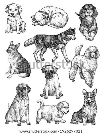 Set of hand-drawn ink dogs sketches. Portraits of labrador, retriever, corgi, poodle, mastiff, husky, shepherd, dachshund, pug, dalmatian. Vintage ink animals illustration. Isolated on white