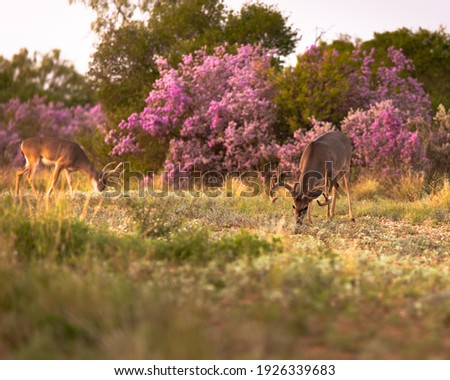 Whitetail buck with velvet antlers in South Texas Royalty-Free Stock Photo #1926339683