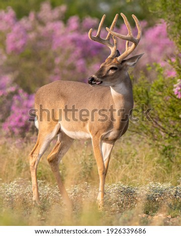 Whitetail buck with velvet antlers in South Texas Royalty-Free Stock Photo #1926339686