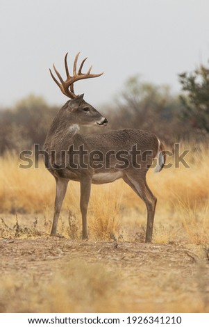 10 point whitetail buck in South Texas Royalty-Free Stock Photo #1926341210
