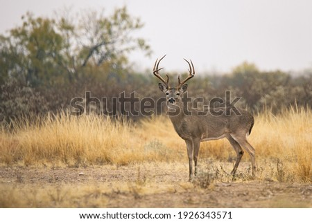 8 point whitetail buck in South Texas Royalty-Free Stock Photo #1926343571