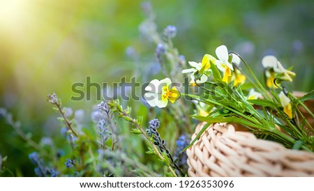 Viola arvensis, field pansy yellow with white meadow flowers. Collecting medicinal plants during flowering. Medicinal herbs in a wicker basket against a meadow