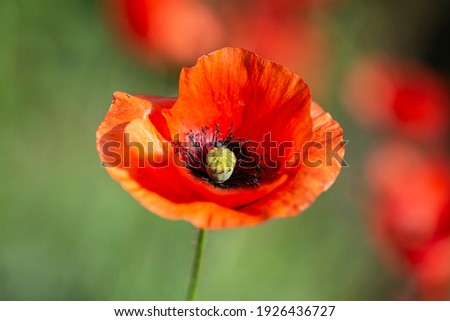 Poppy flower on a background of green grass, blooming poppy, red poppy, flowering poppy on a background.