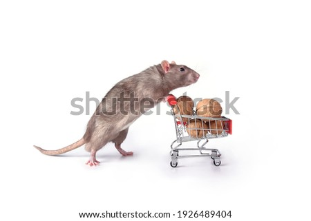 A wild breed rat rolls a supermarket cart with walnuts on a white background in the studio. I go to the supermarket to buy food for the stock