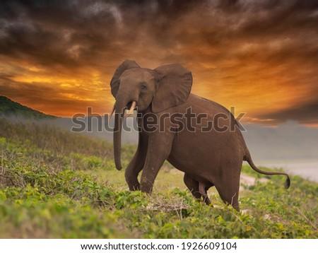 African pygmy elephant or forest elephant (Loxodonta cyclotis) as seen in Gabon Loango national park Royalty-Free Stock Photo #1926609104
