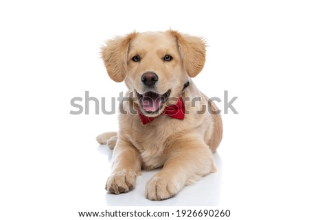 beautiful little golden retriever dog wearing red bowtie, sticking out tongue and panting, laying down isolated on white background in studio Royalty-Free Stock Photo #1926690260