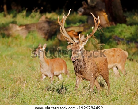 Male red deer during the annual rut
