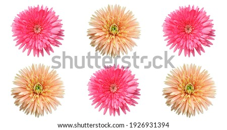 Floral pattern of orange and pink annual aster flower blooming isolated on white background, stock photo, summer flower
