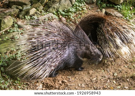 Porcupine . Cape porcupine or South African porcupine, (Hystrix africaeaustralis)in the zoo.