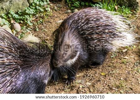A pair of porcupines. Himalayan porcupine, Large porcupine.