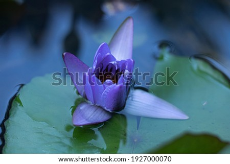 Sunrise. Blue water lily known primarily as blue lotus, but also, and sacred blue lily. Bokeh composing, defocused. Perfect for a background or for printing a picture on canvas for the interior. Thai