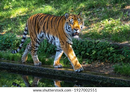 The Siberian tiger,Panthera tigris altaica is the biggest cat in the world Royalty-Free Stock Photo #1927002551