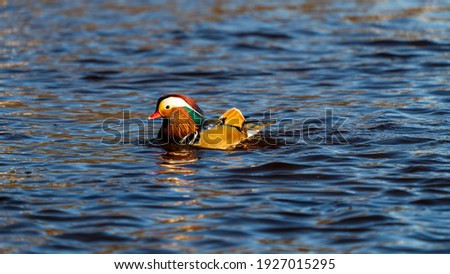 Mandarin duck male (Aix galericulata) swimming in river on the Swedish West Coast. Selective focus. Blurred background.