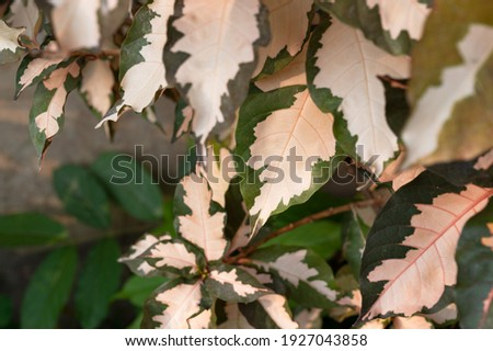 green pink striped foliage, pink spotted color leave, sweet pink green foliage plant  Royalty-Free Stock Photo #1927043858