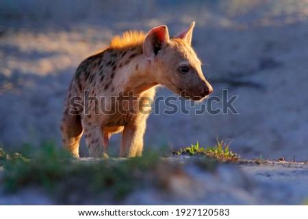 Young hyena pup, evening sunset light. Hyena, detail portrait. Spotted hyena, Crocuta crocuta, angry animal near the water hole, beautiful evening sunset. Animal pup nature, Okavango, Botswana Royalty-Free Stock Photo #1927120583