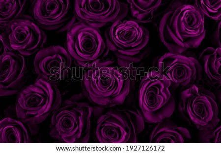 Beautiful purple roses background. Color of the holiday. Gift to a woman. Deep purple color. Royalty-Free Stock Photo #1927126172