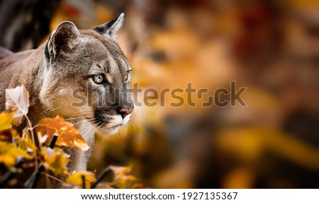 Portrait of Beautiful Puma in autumn forest. American cougar - mountain lion, striking pose, scene in the woods, wildlife America. Royalty-Free Stock Photo #1927135367