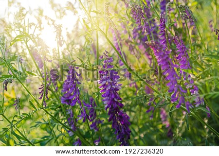 Close up view of purple flowers of hairy vetch vicia villosa in the rays of the sun