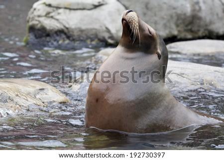 The California sea lion (Zalophus californianus) is a coastal eared seal native to western North America. #192730397
