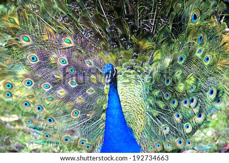 Beautiful blue male peacock with its tail open #192734663