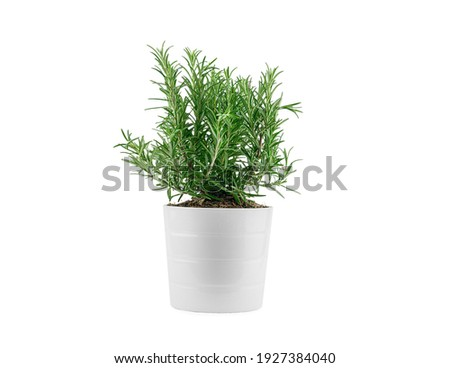 Rosemary in white clay pot, isolated. High quality photo Royalty-Free Stock Photo #1927384040