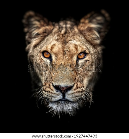 Portrait of a lioness on black background. Lovely Lioness. Close-up African lioness (Panthera leo).