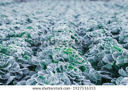 Frost on the cabbage plants in the cold season. A close up picture of a cabbage plants, out in the garden covered in ice. Late autumn or early winter landscape.