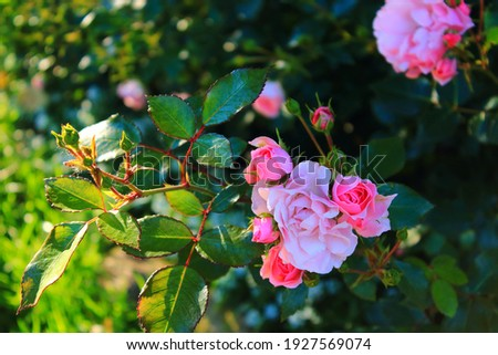 A lot of pink rosebuds on bush. Pink roses bush closeup in the sun after rain. Pink roses blooming  in garden. Care of roses bushes and shrub Royalty-Free Stock Photo #1927569074