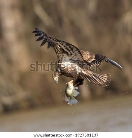 Juvenile Bald Eagle hunting for fish Royalty-Free Stock Photo #1927581137