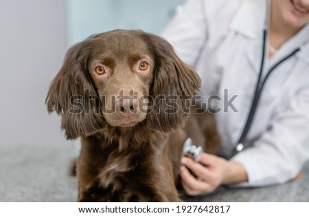 Veterinarian is making a check up of a adult spaniel dog with stethoscope at vet clinic Royalty-Free Stock Photo #1927642817