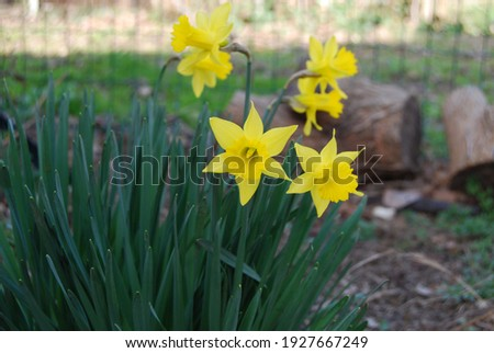 Closeup of daffodils (narcissus jonquilla): beautiful yellow flowers with green stem, which grow spontaneously between the end of winter and the beginning of spring, in the hills of Modena (Italy) Royalty-Free Stock Photo #1927667249