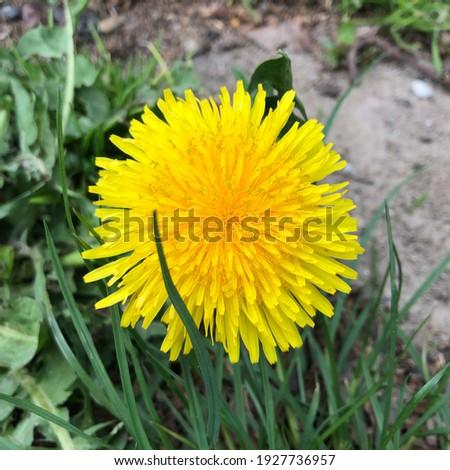 Macro photo dandelion  flower. Stock photo yellow dandelion  flowers