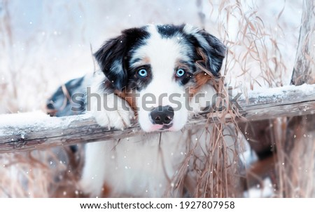 picture of a dog in winter with blue eyes