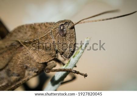 Brazilian grasshopper, Macro picture insect