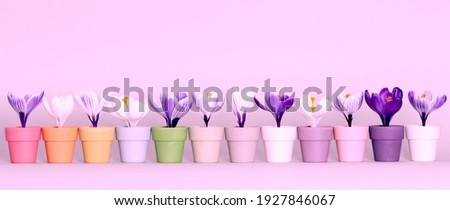 "Beautiful fresh ""Crocus""  flowers in white and purple placed in colourful egg cups and horizontally aligned against a grey toned background. Colours enhanced. 80's style pink photo filter applied."