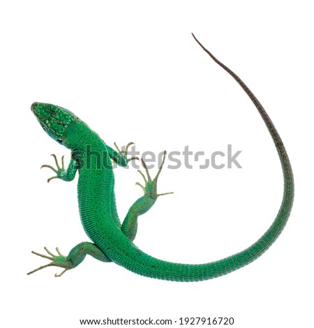 Top view of Western Green Lizard aka Lacerta bilineata. Isolated on white background. Royalty-Free Stock Photo #1927916720