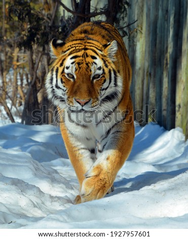 In winter Amur Siberian tiger is a Panthera tigris tigris population in the Far East, particularly the Russian Far East and Northeast China Royalty-Free Stock Photo #1927957601