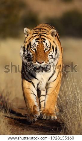 A Massive Male Tiger walks in the road