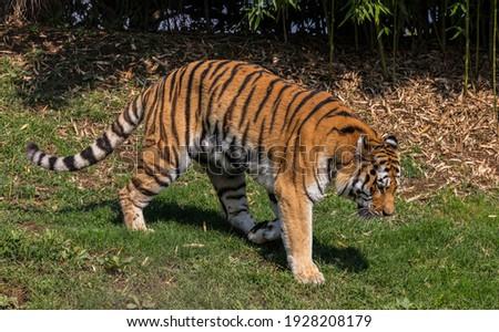 Tiger (Panthera tigris, family: felidae). Royalty-Free Stock Photo #1928208179