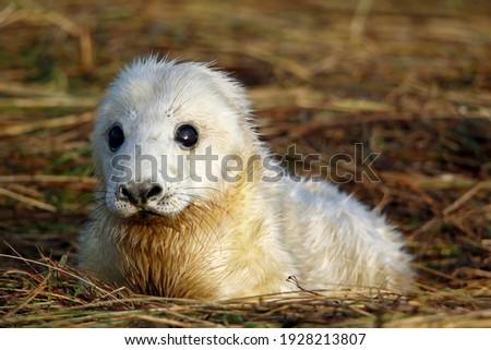 New born Atlantic grey seal pups on the beach Royalty-Free Stock Photo #1928213807